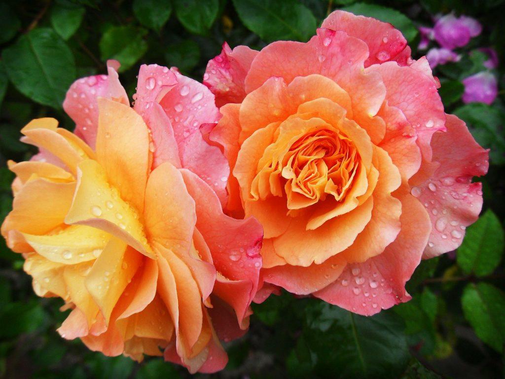 June flower ~ rose