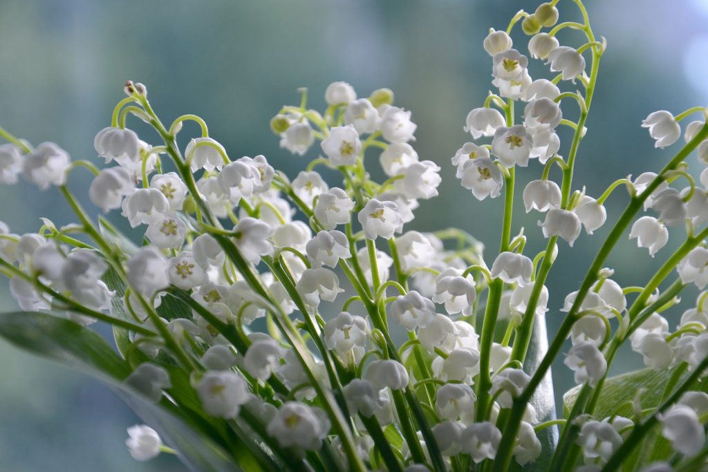 May Flower ~ Lily of the Valley
