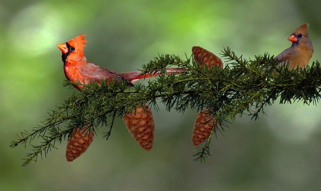 cardinals-5867485_1280