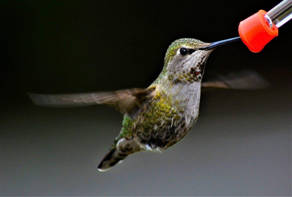 hummingbird-5842523_1280