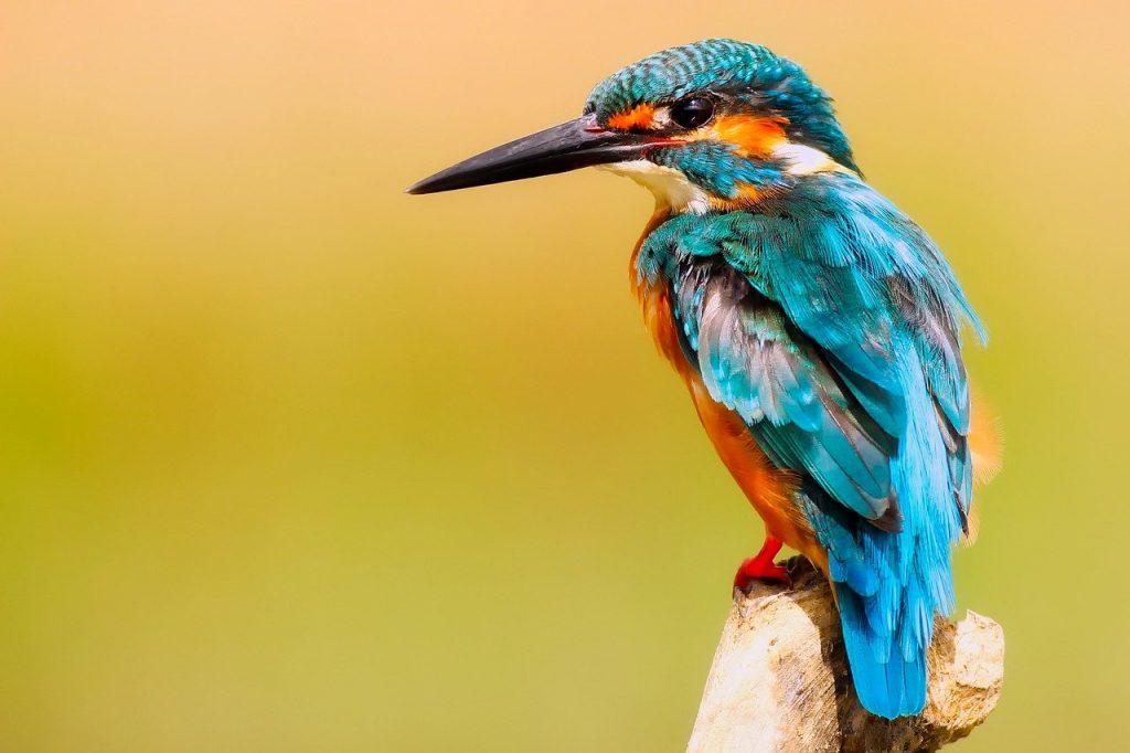 kingfisher-2046453_1280