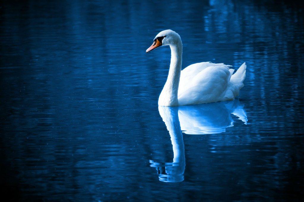 swan-16736_1280