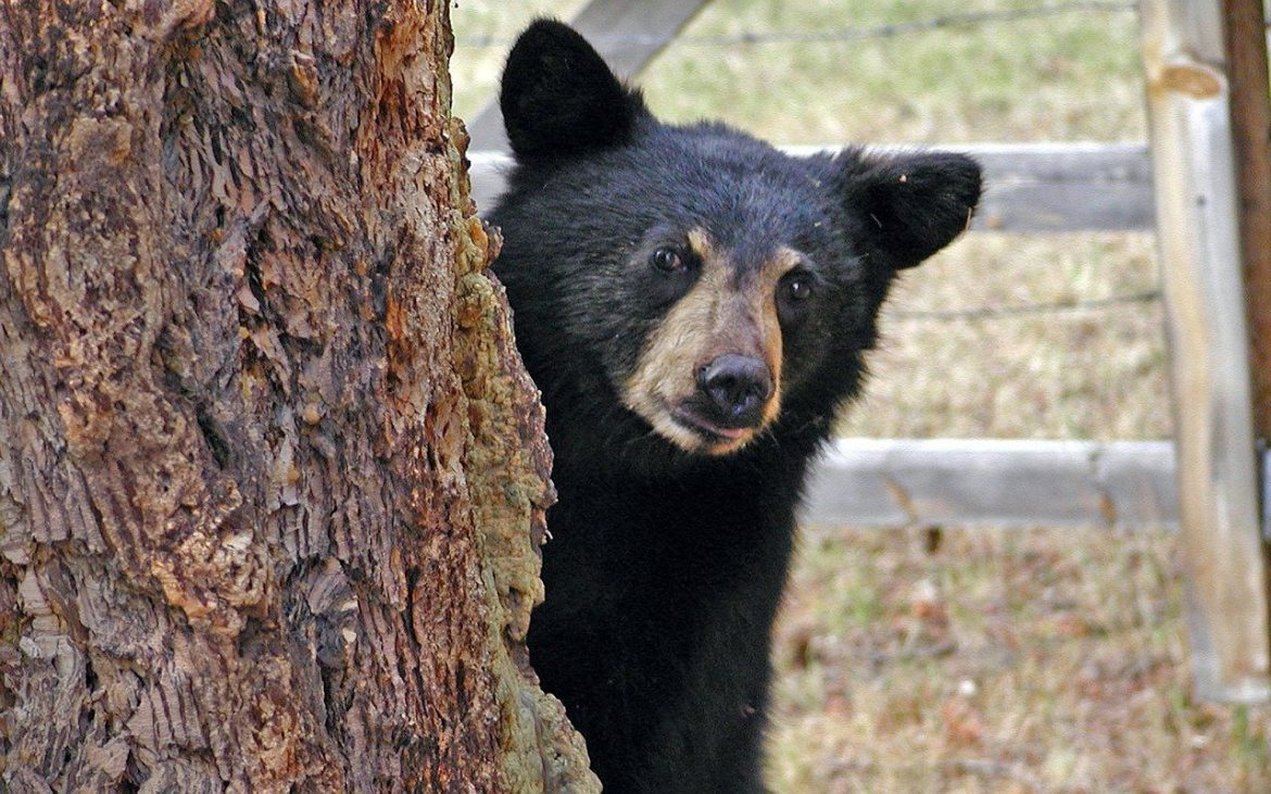 National Black Bear Day ~ First Saturday in June