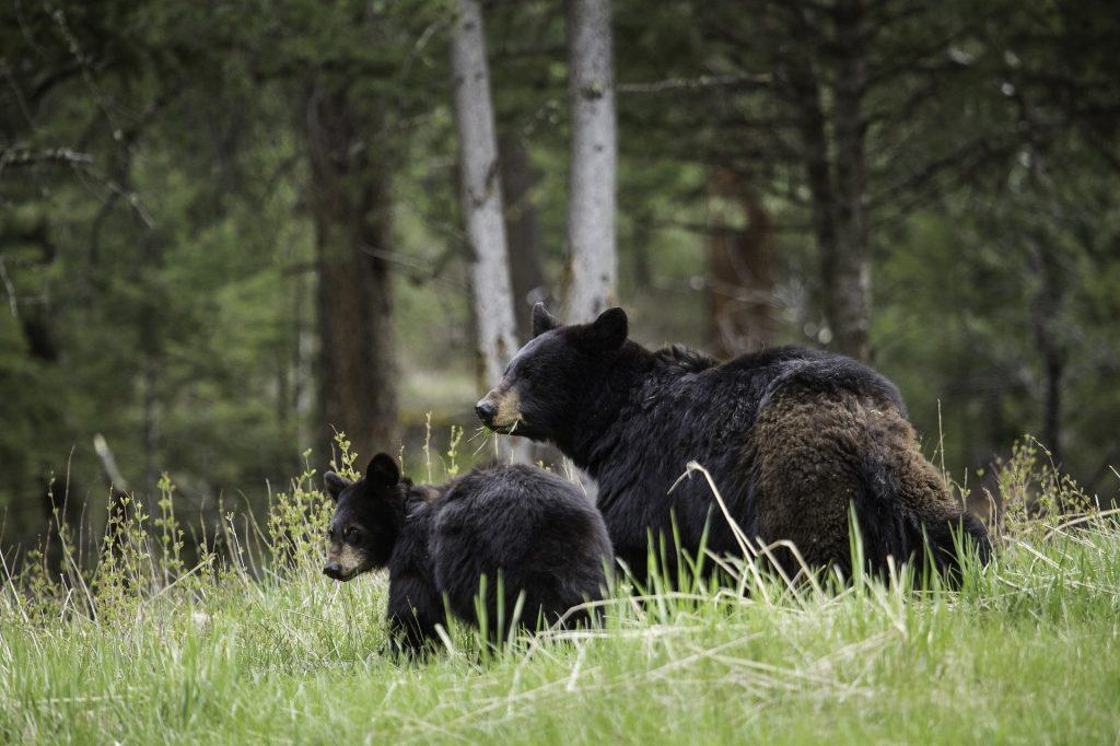Mama-bear-and cub