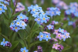 forget-me-nots-flower-i-forgot-day