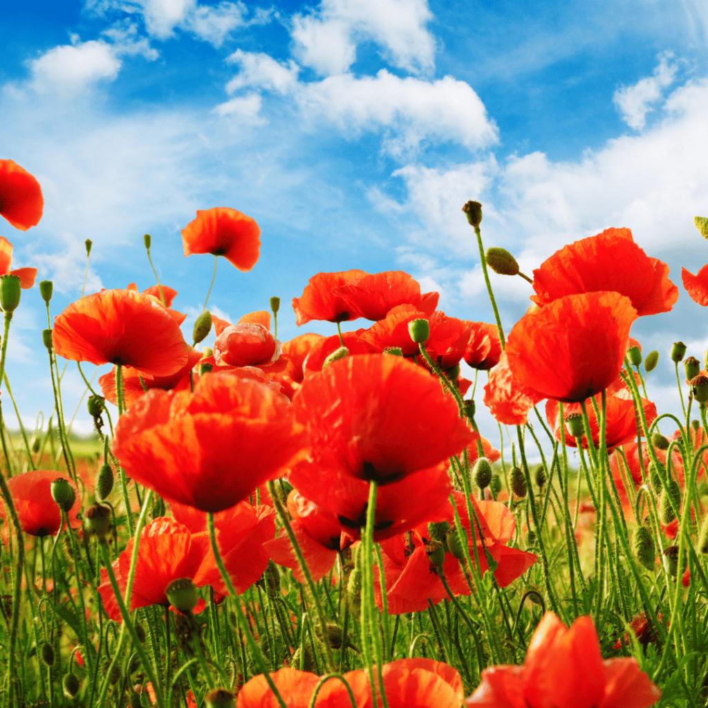 poppy-birth-flower-month-august