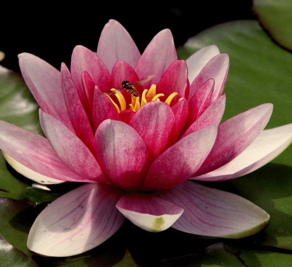 water-lily-birth-flower-july