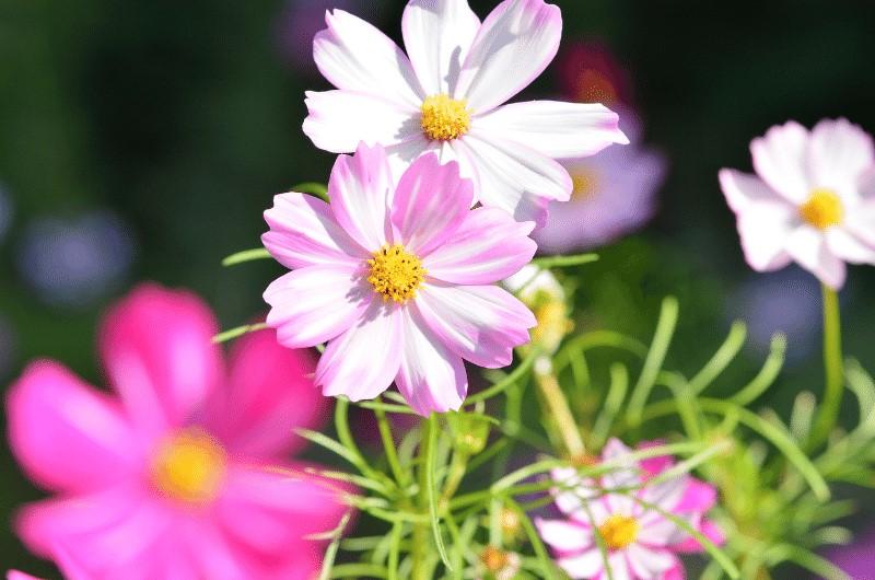 cosmos-october-birth-flower
