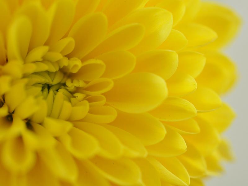 yellow-chrysanthemum-november-birth-flower