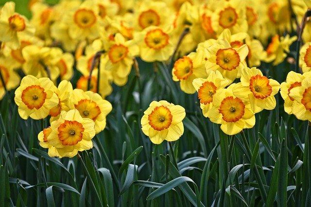 Daffodil-march-flower