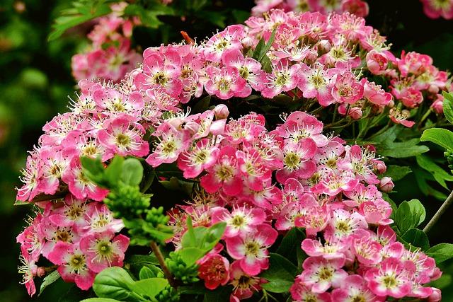 hawthorne-may-birth-flower