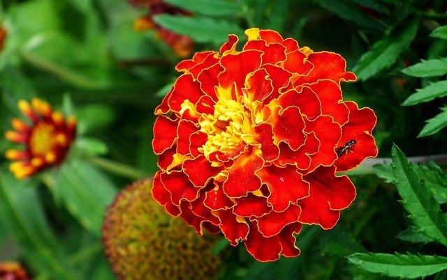marigold-october-birth-flower