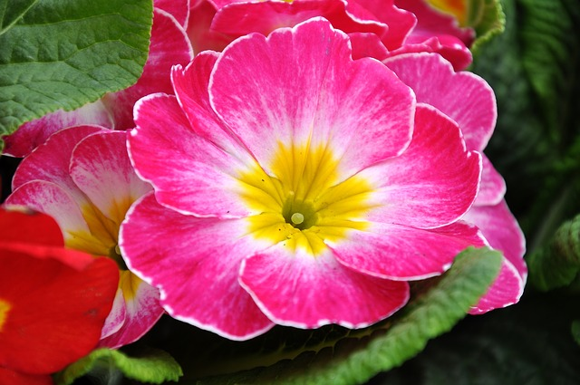 pink-yellow-primrose-february-flower