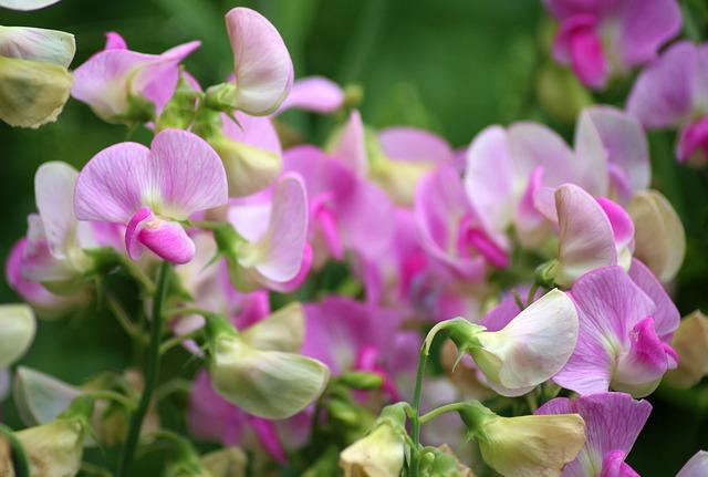 sweet-pea-april-birth-flower